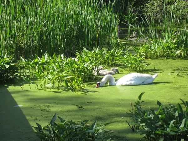 wild swan blog90