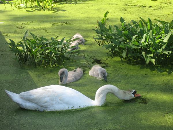 wild swan blog96