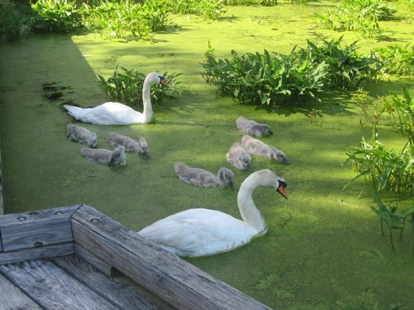 wild swan blog99