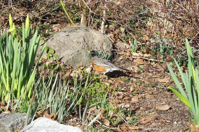 Spring Fenway  garden  04-08-08 005