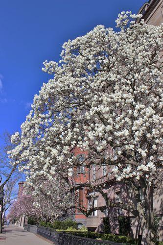 Magnolias Spring 2015 (1)