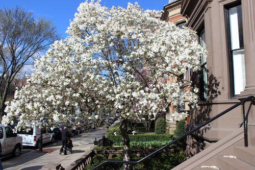 Magnolias Spring 2015 (5)