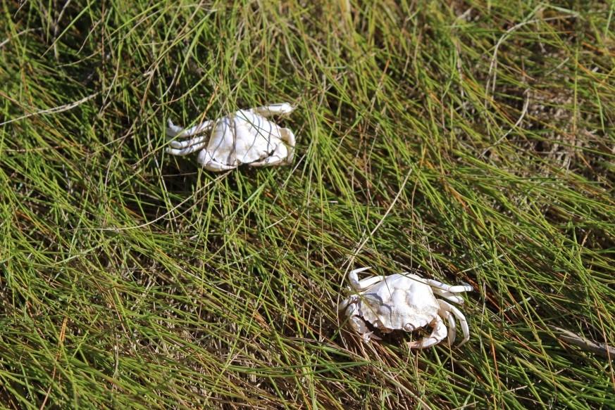 baby-crabs
