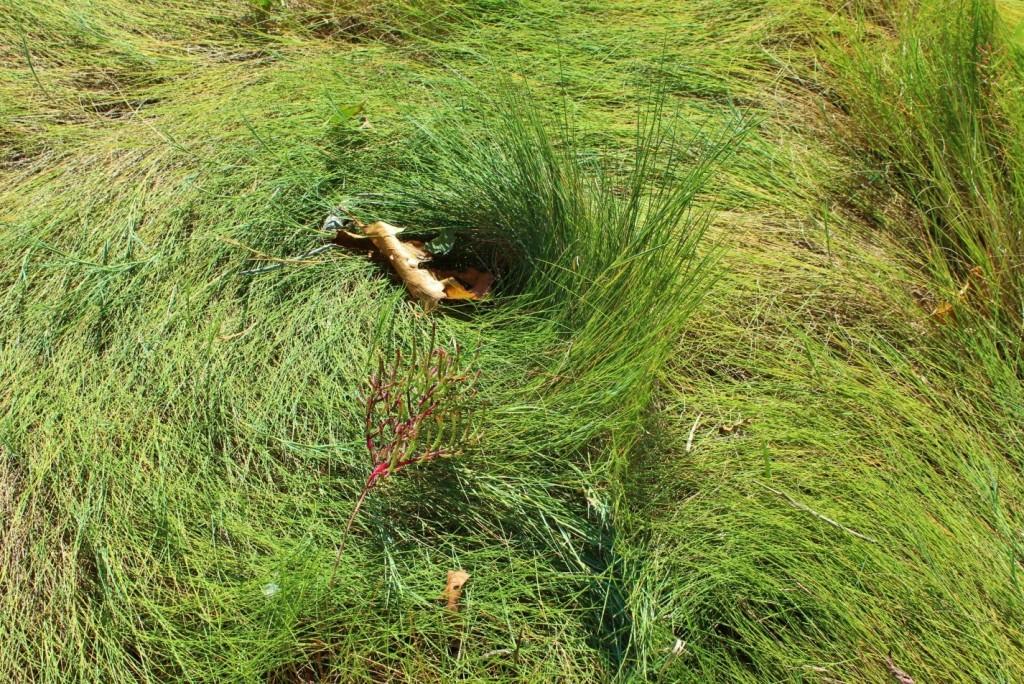 cow-lick-grass